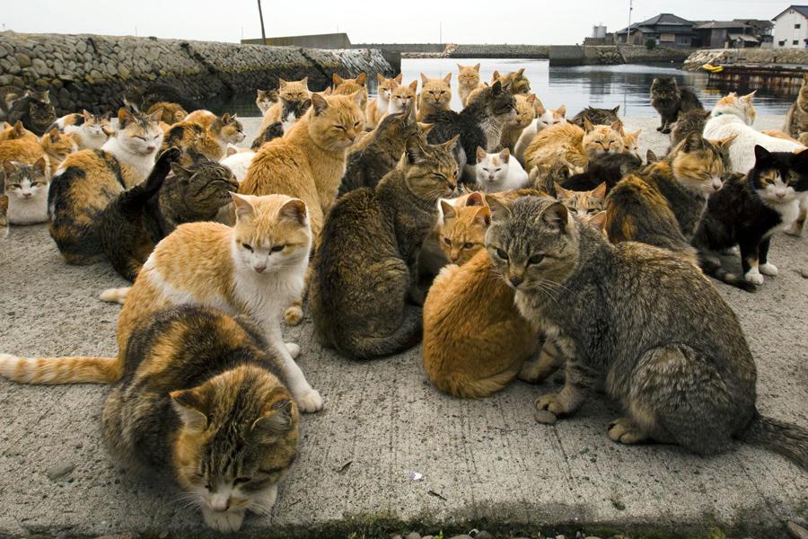 Na wyspie Aoshimie (Japonia) to koty stanowią demograficzną większość. Futrzaków jest setka, gdy dwunożnych mieszkańców tej wysepki - kilkunastu. Wszyscy w wieku mocno emerytalnym.