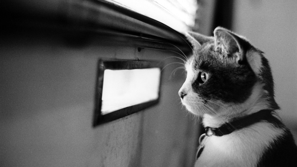 animal-cat-watching-for-something-backgrounds-wallpapers