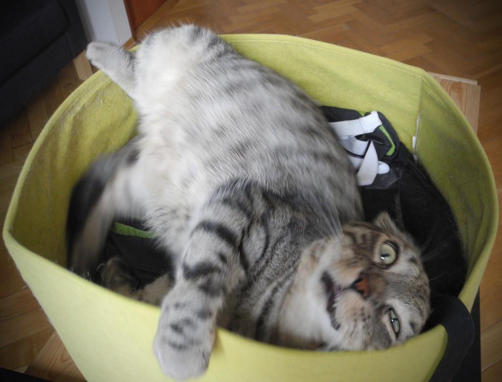 Karmel nie jest największym intelektualistą wśród kotów. Ale za to jest piękny.